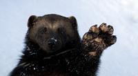 内蒙古首次拍到貂熊野外进食画面
