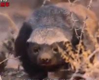 世界上最暴躁的动物